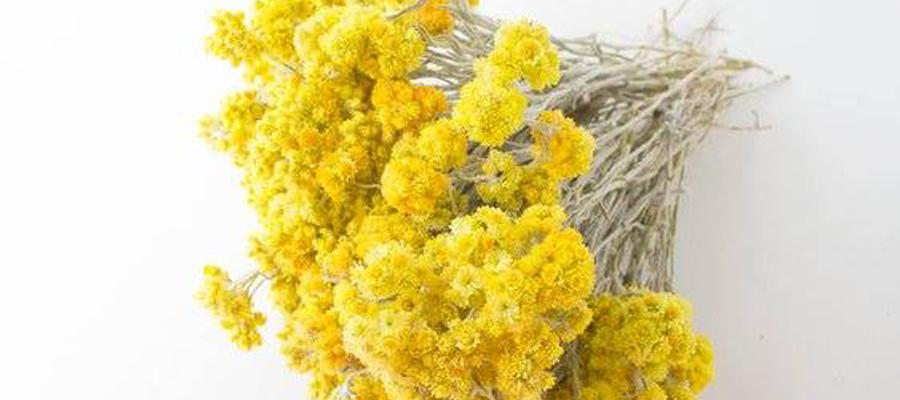 蜡菊精油品种